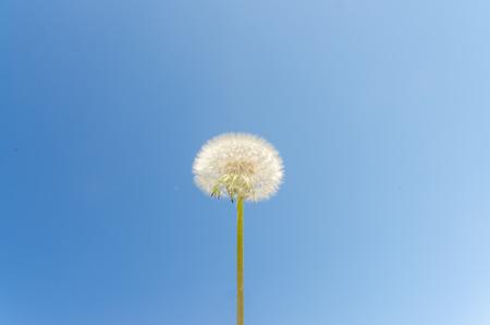 dandelion on background of Sunny sky 版權商用圖片
