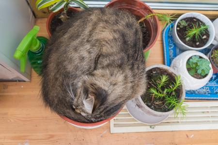 cat sleeping in flower pot on window Sunny day