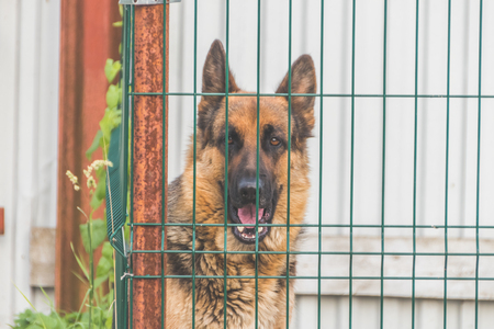 shepherd, dog in aviary, cage fence, breed breeding, watchman