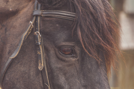 a black horse head close-up, eye, bridle Reklamní fotografie