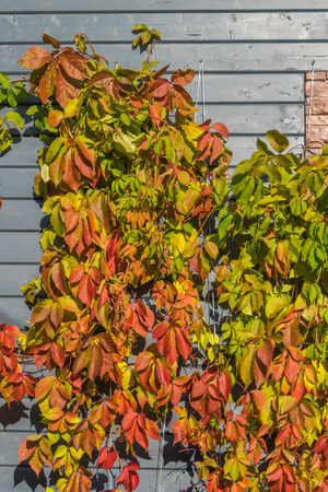 plant, parthenocissus, cover the wall of wood, brick houses