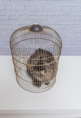 El gato encerrado en una jaula sobre una mesa contra una pared de ladrillo blanco.