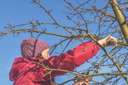 the worker pruning garden trees in spring
