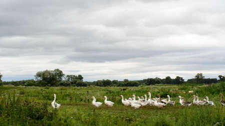 A large flock of white domestic geese is to build exactly one le