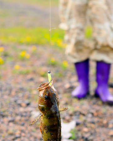 The perch caught by the fisherman hangs on a rubber lure with a weight, a metal leash string and a cord on the background of the girls feet in boots. 스톡 콘텐츠