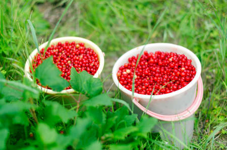 Two large buckets full of red berries of wild red currants stand after harvest in the bushes of green grass.