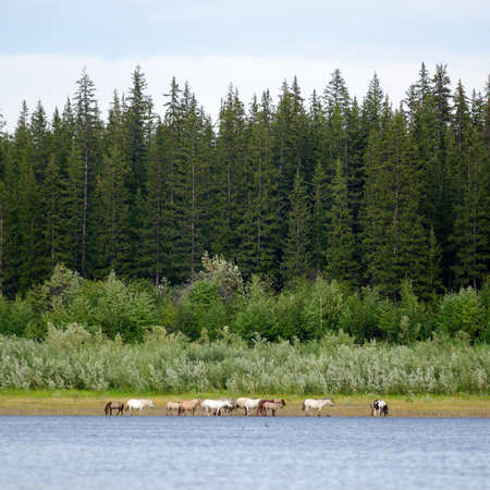 A herd of light Yakut horses is feeding on the banks of the Northern river vilyu on the background of a number of coniferous trees and the usual located on the growth. Stok Fotoğraf
