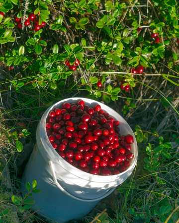 Juicy red berries, wild and cranberries are in full pail opposite uncollected bushes of berries. Autumn gathering in the Northern taiga of Yakutia. Stock Photo