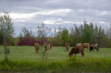 Small young bulls Yakut cows eat grass in a wild swamp in the Northern forests of the taiga and small trees.