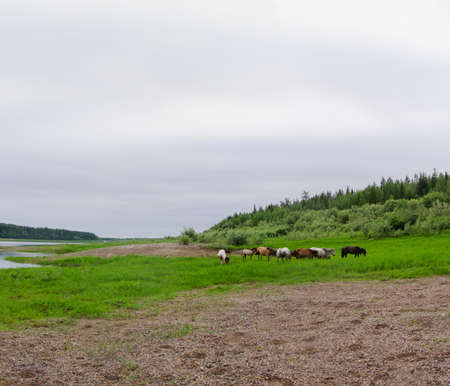 The thick of the Yakut herd horses grazing on the shore North of the Vilyui river near the forest and a fir forest.