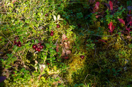 Red cranberries, illuminated by sunlight, grow on a green hill in the grass of the wild forest of the Northern tundra in autumn next to the lush grass.