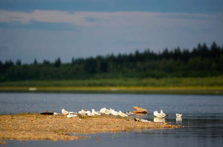 A small flock of Northern white gulls stands resting on the stone Bank of the Viluy river in Yakutia on the background of the taiga spruce forest under the blue sky. Banque d'images