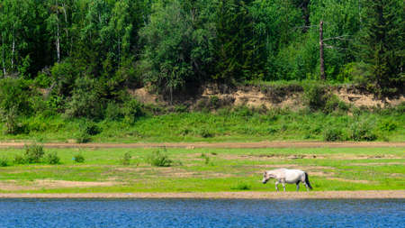 A lone Yakut white horse comes out to the blue water of the Viluy river from the green forest of the tundra.