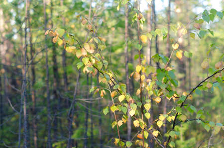 Yellow leaves on a small autumn birch grow in the spruce forest of the Northern forest of Yakutia.