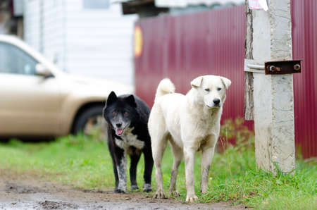 Two domestic dog black and white walking on North country road in the background of the fence.