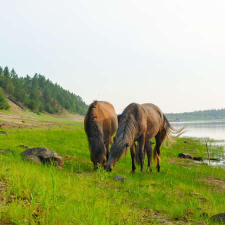 Two horses eat grass from one place on the Bank of the Northern river in Yakutia.