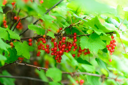 Many bunches of wild red currant berries grow on a branch under green leaves illuminated by sunlight.