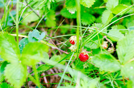 Red strawberries growing in the green grass. Stock Photo