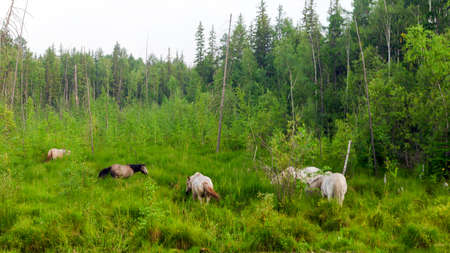 A small herd of Yakut horses in the high grass of the swamp near the taiga Northern spruce forest eat grass, waving their tails. Stok Fotoğraf
