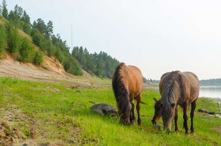 Three horses with taiga forest, eating from the same places the green grass the stone on the North river in Yakutia. Stok Fotoğraf