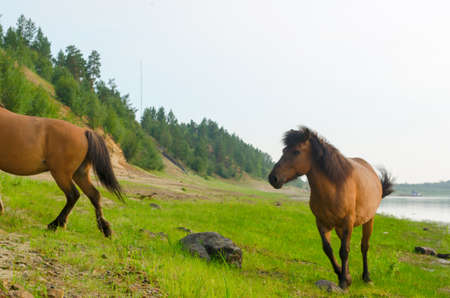 Two horses run by a stone on the Bank of the Northern river in Yakutia.