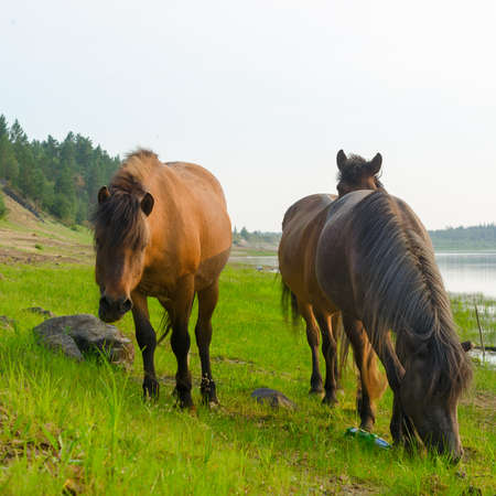 Three horses near the forest eating from the same places the green grass the stone on the North river in Yakutia. Stok Fotoğraf