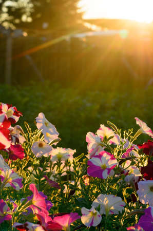 Bright yellow rays of the sun at sunset from behind the fence illuminate the flower bed with blooming buds of colorful flowers of petunias in the village in the North of Yakutia in the summer.
