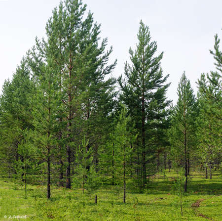 Small young fir trees grow on a green meadow in Northern Yakutia.