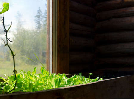 Lettuce grow in a wooden pot greenhouse at the window, bathed in sunlight on the background of the Yakut Northern rural area with trees.