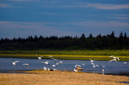 A flock of wild Northern white birds seagulls flies up waving their wings over the Bank of the vilyu river in Yakutia against the background of the taiga spruce forest on a bright colorful evening. Stockfoto