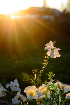 The suns rays at sunset from behind the fence and the house fall on the flower bed with blooming buds of white petunias in a village in the North of Yakutia in summer.