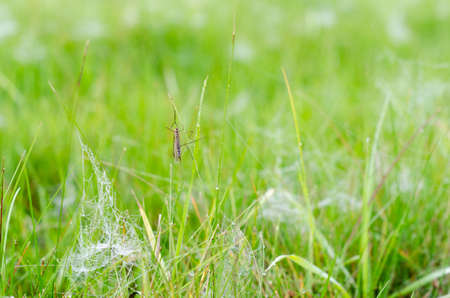 An insect with wings and big feet sits on the green grass among the white frost and dew on the web in autumn. Stockfoto