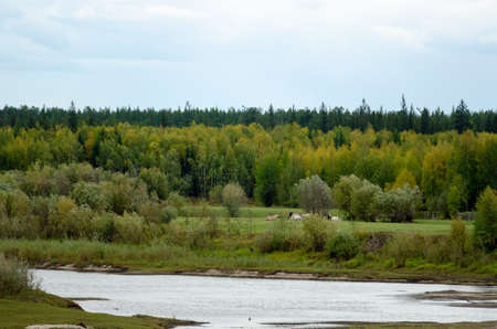 A herd of Yakut horses eats on a green field on the other side of a small river among the wild tundra spruce forest.
