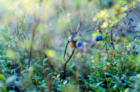 Juicy blue blueberries grow in the grass on the bushes in the tundra in the wild North of Yakutia.