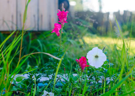 Bright lilac and white buds of Petunia flowers grow in the grass behind the fence near the flower bed next to the corner of the open wooden door of the Northern Yakut house.