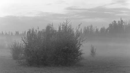 Black and white photo of bushes and forests hiding in the evening in a creeping white fog in the wild taiga of Northern Yakutia. Stockfoto