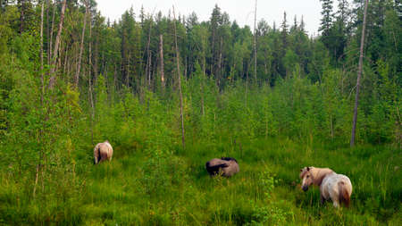 A small herd of Yakut horses in the high grass of the swamp near the taiga Northern forest eat grass, waving their tails.
