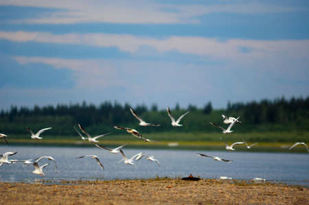 A flock of wild Northern white birds gulls flies waving wings over the Bank of the river with two empty bottles of vodka vilyu in Yakutia on the background of the taiga spruce forest under the blue sky and clouds.