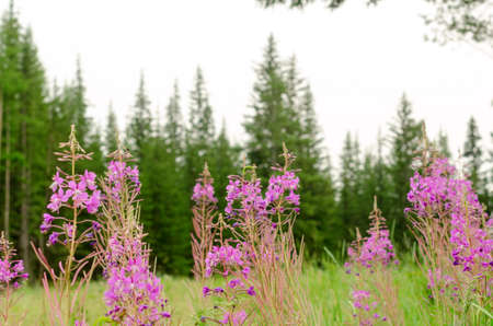 Lilac plants of Ivan-tea grow in the wild Yakut taiga on the background of spruce forest.