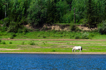 A lonely white Yakut horse eats grass on the Bank of the Viluy river among the stone Bank and the cliff from the taiga of the coniferous forest in the bright afternoon. Stok Fotoğraf