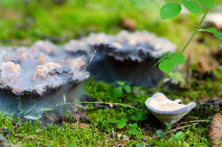 White mold covered the old stale mushrooms in the forest among the grass tundra of Northern Yakutia.