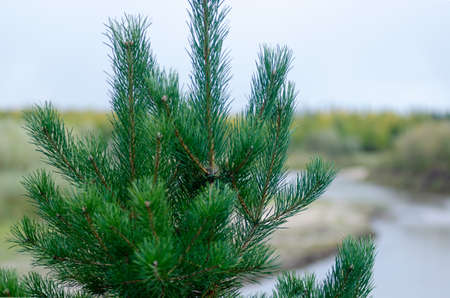 The top of a young green spruce with needles in the afternoon on a fuzzy background of forest and river in the wild North of Yakutia. Stockfoto
