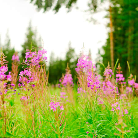 Lilac plants Ivan tea grow on a green field against a spruce forest in the afternoon in the Northern taiga of Yakutia in Russia. Zdjęcie Seryjne