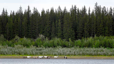 The Yakut herd horses is feeding along the shore North of the Vilyui river on the background of the taiga.