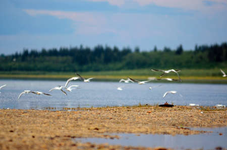A flock of wild Northern white birds seagulls flies waving wings over the country of iron garbage and empty bottles over the Bank of the river Viluy in Yakutia on the background of the taiga spruce forest.