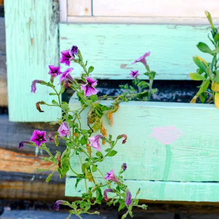Lilac flowers of petunias hang from a wooden pot under the casing of the Northern Yakut house made of timber.