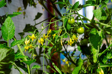 Small green tomato fruits with yellow flowers hang on stems on the background of a greenhouse in a village in the North of Yakutia in the summer.