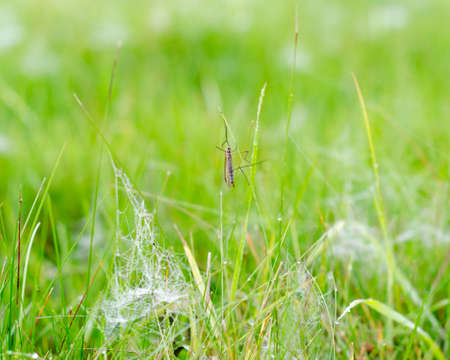 An insect with wings and big feet sleeps on the green grass in the morning among the white frost and dew on the web in the autumn in the forest of Yakutia. Stockfoto