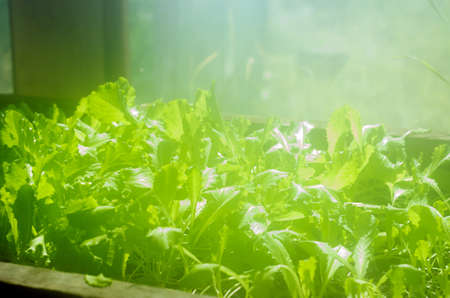 Lettuce leaves grow in the greenhouse at the window, bathed in sunlight in the haze of high humidity in the summer.
