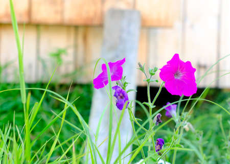 Bright lilac flowers of Petunia grow in the grass near a wooden house on a bright summer day in the North of Yakutia. Stockfoto